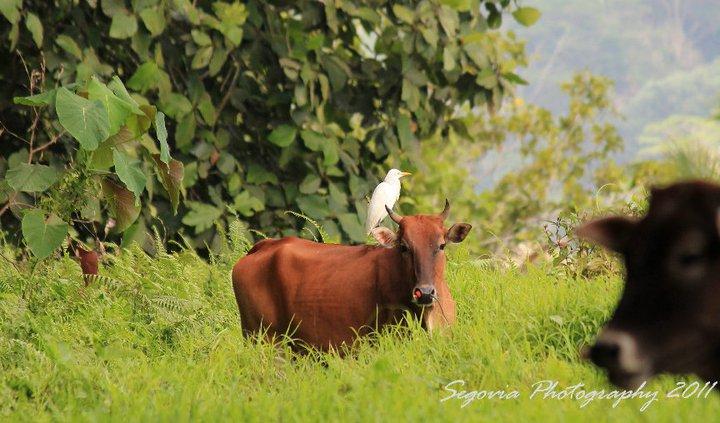 Cattle Egret (Bubulcus ibis coromandus)
