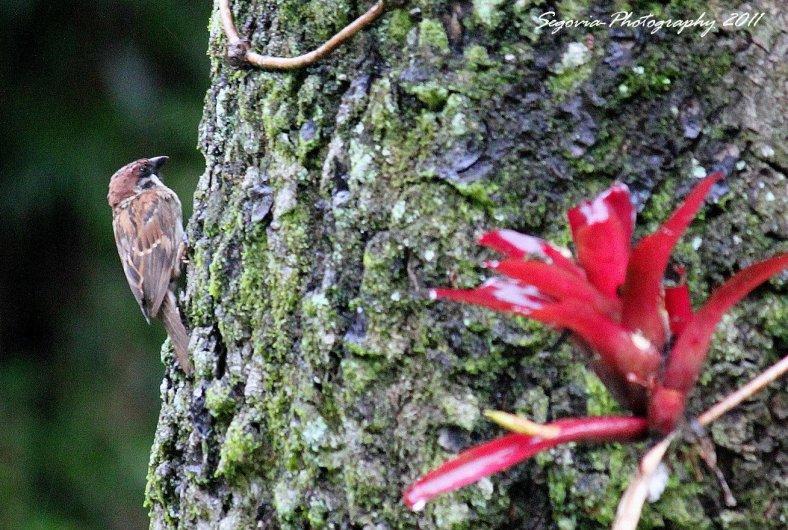 Eurasian Tree Sparrow (Passer montanus)3