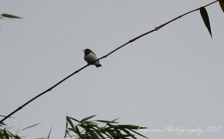 White-breasted Woodswallow (Artamus leucorynchos)