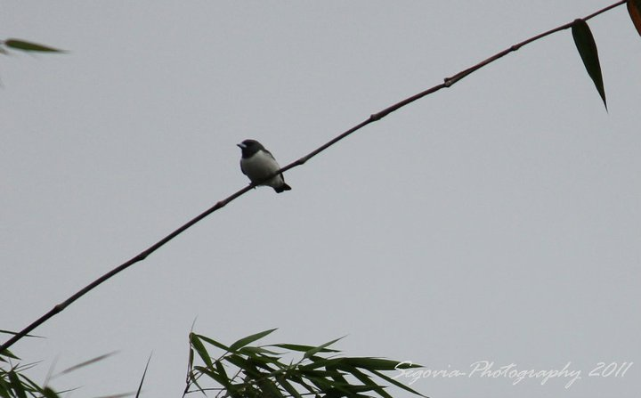 White-breasted Woodswallow (Artamus leucorynchos)