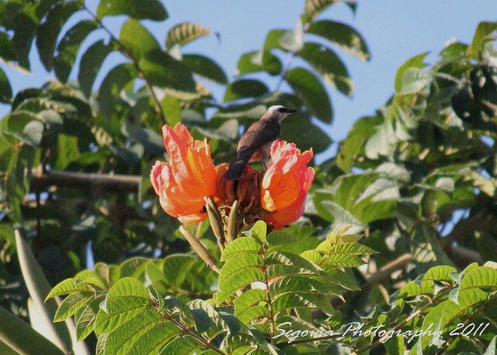 Yellow-vented Bulbul (Pycnonotus goiavier)
