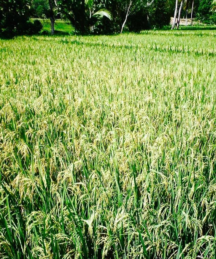 ricefarm (1)