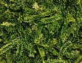 seaweed 'lato'